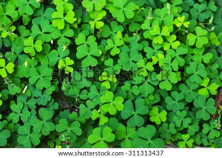 Green Clover Leaf for Background Uses. - stock photo