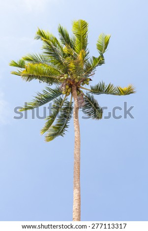 Green Coconut palm tree on blue sky - stock photo