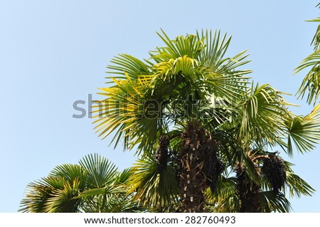 Green Coconut Tropical Palm Tree and Blue Sky - stock photo