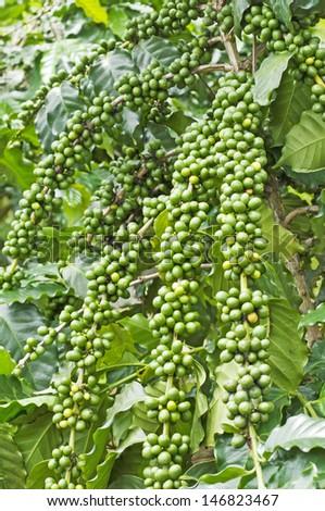 green coffee. - stock photo
