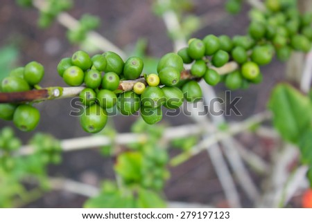 green coffee bean, coffee tree with beans - stock photo