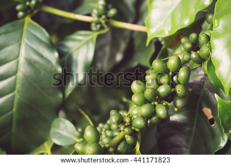 Green coffee beans, Green coffee beans growing on the branch.still life tone.Vintage tone. - stock photo