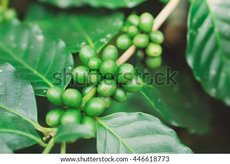 Green coffee beans on a branch of coffee tree, ripe and unripe berries, combination with green leaves.  - stock photo