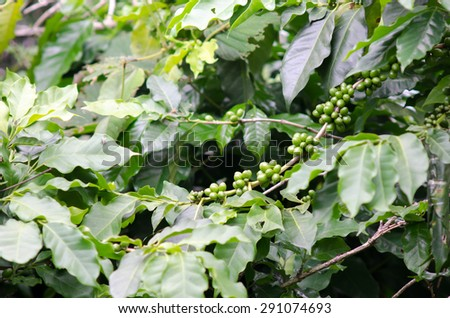 green coffee beans on the tree - stock photo