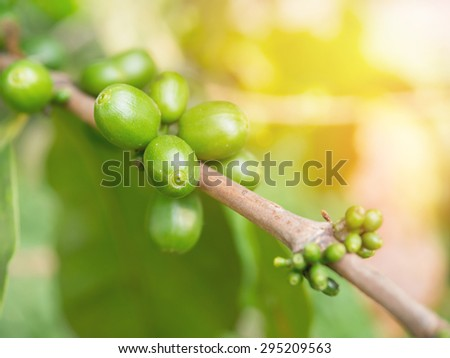 Green coffee cherries or coffee bean on tree growing with sunlight. - stock photo