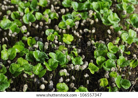 Green coffee is growing - coffee - stock photo