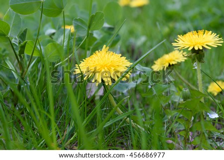 Green colorful grass dandelions natural background - stock photo