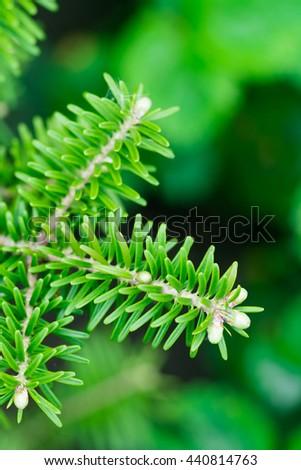 Green conifer branch - stock photo