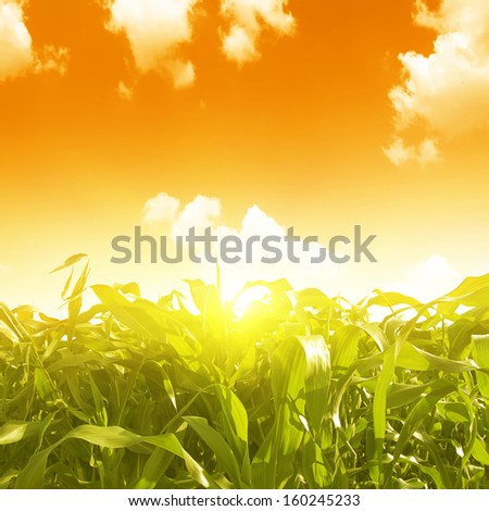 Green corn field and sunset. - stock photo