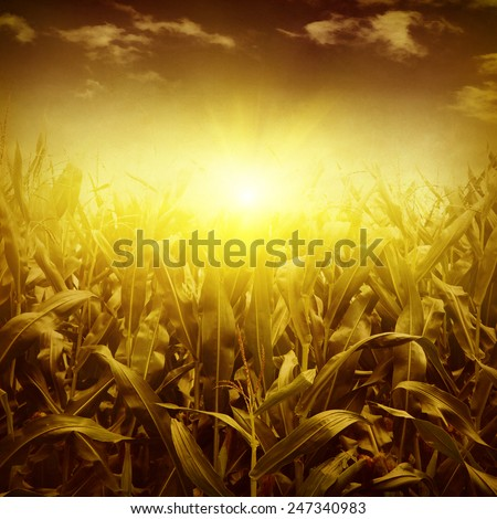 Green corn field at sunset in grunge style.  - stock photo