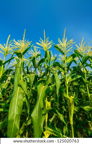 Green corn field growing up on blue sky. - stock photo