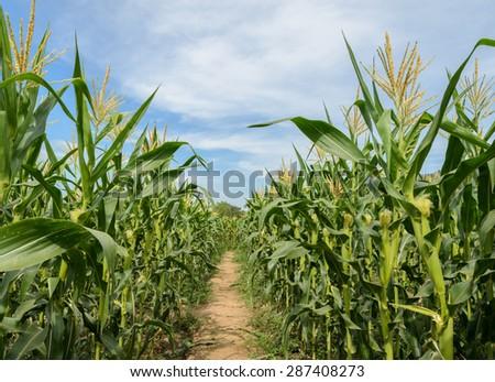Green corn field in Thailand - stock photo