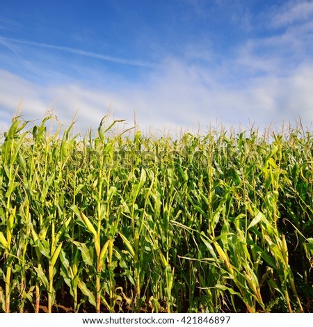 Green corn field on a sunny day in Brittany, France - stock photo