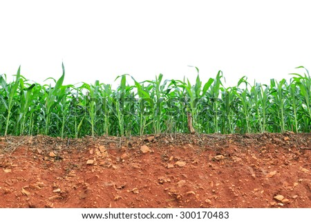 Green corn field on white background - stock photo