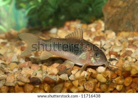 Green Corydora fish. - stock photo
