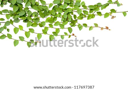 Green Creeper Plant isolated - stock photo