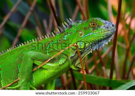 Green crested lizard (Bronchocela cristatella) - stock photo