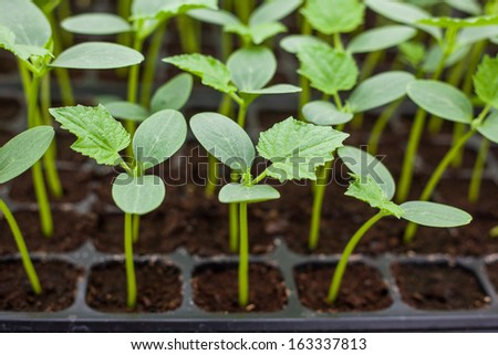 Green Cucumber seedling on tray - stock photo