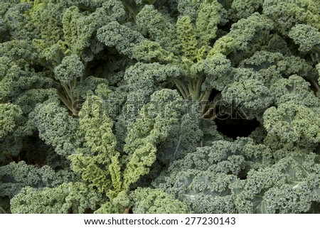 green curly leaf kale - stock photo
