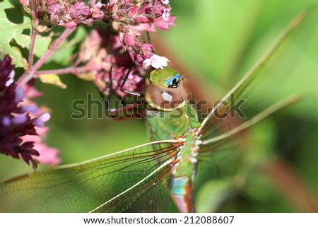 Green Darner Dragonfly - stock photo
