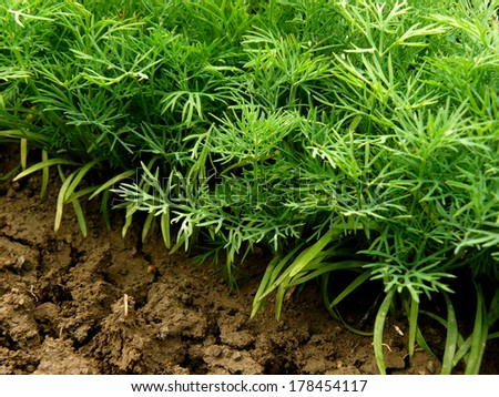 green dill plants growing on bed - stock photo