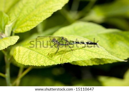 Green Dragonfly on leaf - stock photo