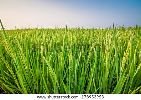 Green ear of rice in paddy rice field under blue sky - stock photo