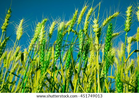 Green ears in field against blue sky, Blur field in the morning background - stock photo