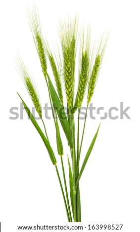 green ears of wheat isolated on white background - stock photo