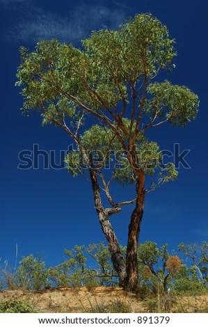 Green eucalypt tree on a blue sky - stock photo