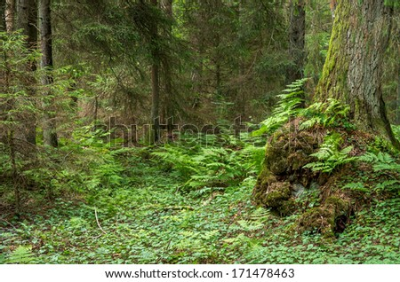 Green fern in magical pathless wild forest with big old moss fir tree and bush in fantasy atmosphere - stock photo
