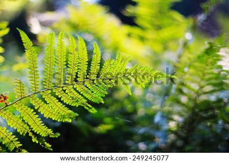 Green fern leaf on spring forest defocused background. Shallow focus - stock photo