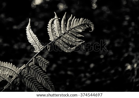 Green fern leave foliage natural fern background with sunlight in Black and white style - stock photo
