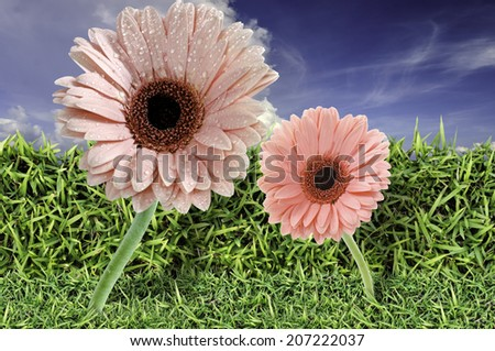 Green field, grass, blue sky and white clouds, Gerberas - stock photo