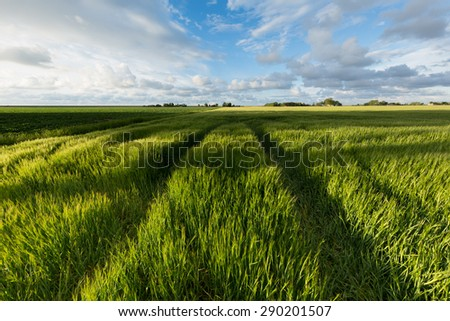 Green field of barley with bright sunshine in summer and a blue sky with white clouds - summertime - stock photo