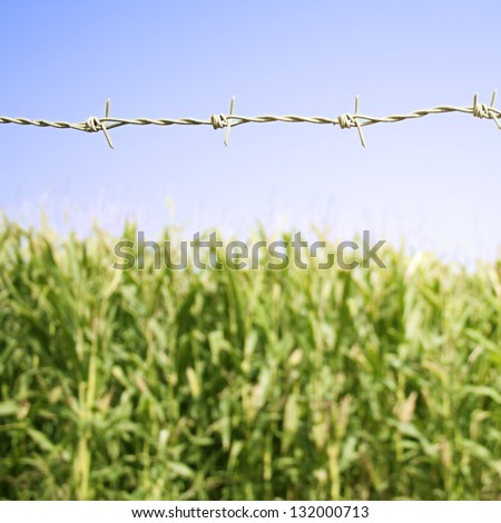 Green field of corn growing up behind a wire - stock photo