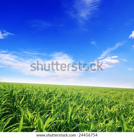 green field of young corn and cloudy blue sky - stock photo