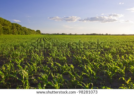 Green field with young corn at sunset - stock photo