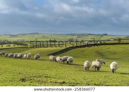 Green fields in the English countryside with grazing sheep and blue sky. - stock photo