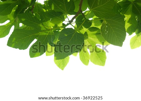 Green fig-tree leaves with branch isolated on white background. - stock photo
