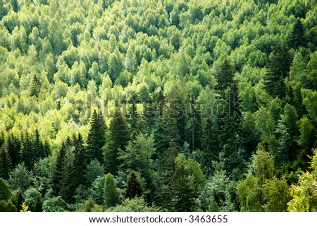 Green Fir Forest - stock photo