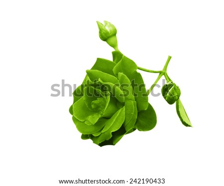 Green flowers isolated on white background. - stock photo