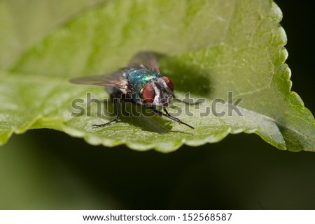 green fly with red eyes on a green leaf - stock photo