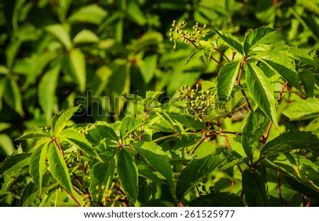 green foliage of virginia creeper - stock photo