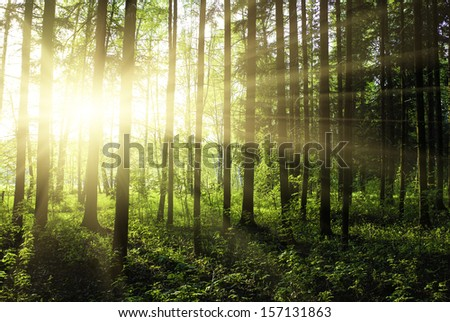 green forest at sunset sunrise sun and sunbeams - stock photo
