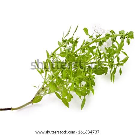 Green fresh basil flowering close up macro  isolated on white background  - stock photo