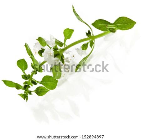 Green fresh basil flowering close up macro shot isolated on white background - stock photo