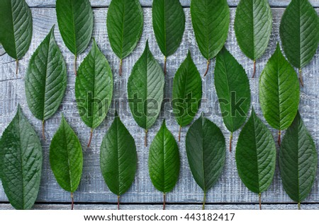 Green fresh leaves of cherry tree pattern background. Texture of leaf rows, abstract floral ornament of natural foliage at blue rustic wood. Wooden table with greenery, top view - stock photo