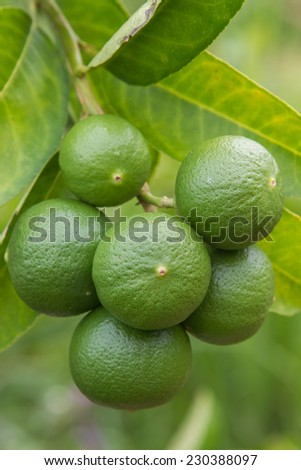 green fresh lime on tree - stock photo