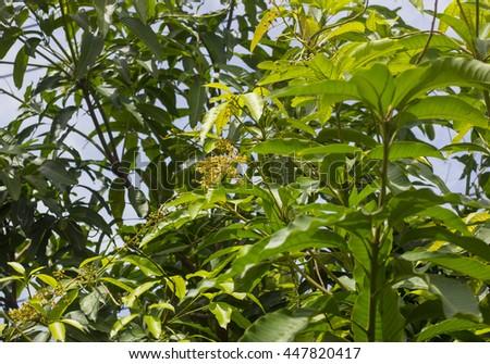 Green Fresh Mango tree. and selective focus - stock photo